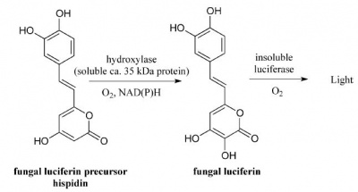 Mechanism of fungal bioluminescence.